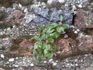 Mura di Cittadella effetti del deterioramento per la presenza della vegetazione